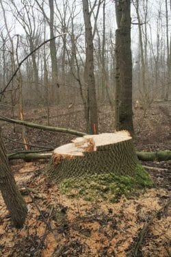 Die dicksten und ältesten Bäume werden systematisch gefällt. Foto: NuKLA e.V.