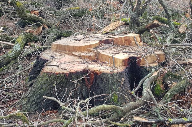 Stumpf einer abgeholzten Eiche bei Dölzig. Foto: NuKLA e.V.