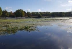 Ein überdüngtes Standgewässer: das Elsterbecken im Sommer 2018. Foto: Marko Hofmann