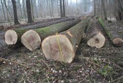 Baumfällungen im Kanitzsch. Foto: NuKLA e.V.