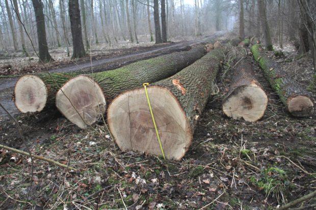 Hier werden augenscheinlich die wertvollen Altbäume systematisch aus dem Wald geholt. Foto: NuKLA e.V.
