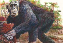 Zeichnung eines Östlichen Schimpansen (Pan troglodytes schweinfurthii) der Region Bili-Uéré im Norden der Demokratischen Republik Kongo. Zeichnung: Cleve Hicks