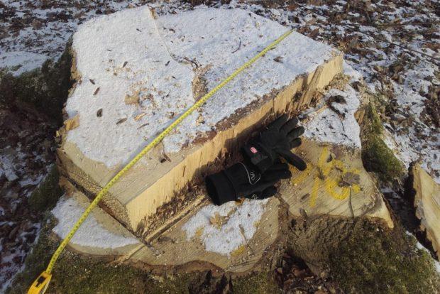 Stumpf einer gefällten gesunden Eiche im Auenwald bei Dölzig. Foto: NuKLA e.V.