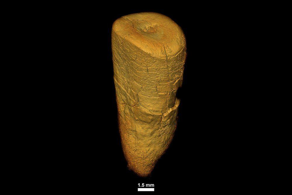 Zahn einer erwachsenen Neandertalerin aus Les Cottés in Frankreich. Foto: MPI f. evolutionäre Anthropologie/ A. Le Cabec