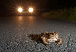 Vorsicht ist geboten auf den Straßen: Amphibien begeben sich derzeit auf Wanderung zu ihren Laichgewässern. Foto: Jonathan Fieber/NABU