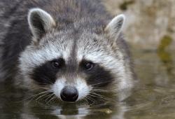 Der Waschbär – ein neuer Bewohner der heimischen Natur. Foto: NABU/Rita Priemer