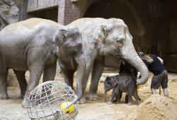 Die direkte Kontaktaufnahme zwischen dem Jungtier sowie Don Chung und Rani wird forciert © Zoo Leipzig