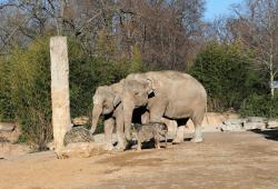 Elefantenkalb zusammen mit den Kühen Don Chung und Rani auf der Außenanlage © Zoo Leipzig