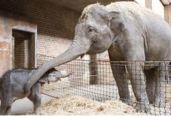 Kontaktaufnahme zwischen dem Elefantenkalb und Elefantenkuh Rani © Zoo Leipzig