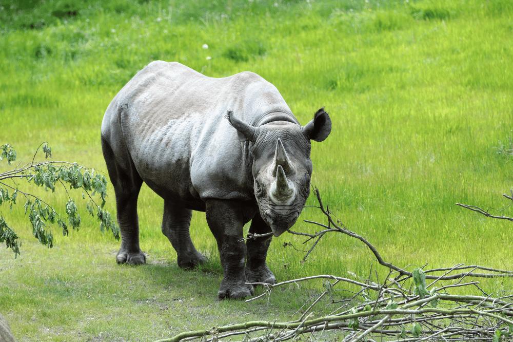 Nashornkuh Nandi auf der Kiwara-Kopje © Zoo Leipzig