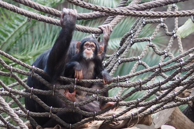 Schimpansenjunges Makeni © Zoo Leipzig