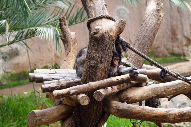 Schimpansenjungtier Youma © Zoo Leipzig
