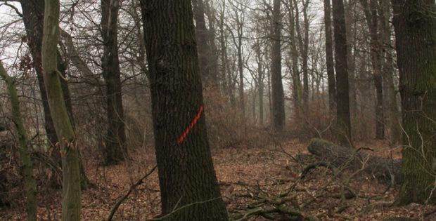 Zum Fällen markierter Baum im Kanitzsch. Foto: NuKLA e.V.