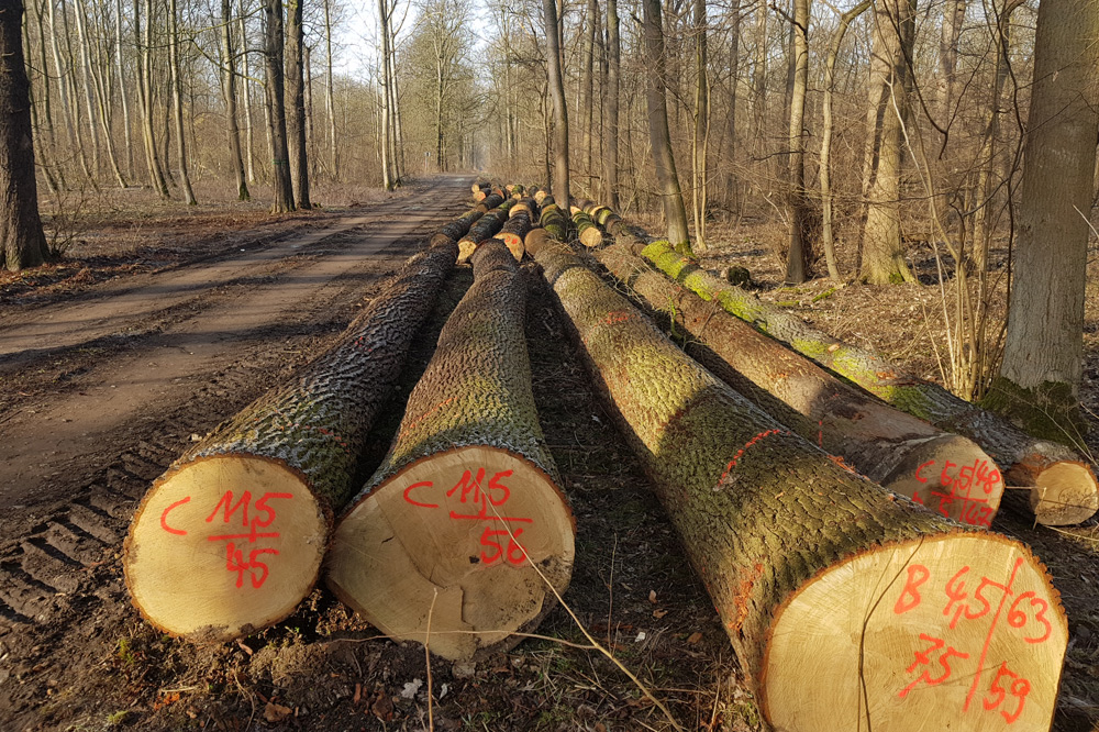 Gesunde Bäume aus der Hartholzaue, geschlagen im Januar 2019. Foto: NuKLA e.V.