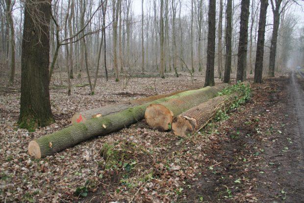 Baumfällungen im Kanitzsch bei Gundorf. Foto: NuKLA e.V.