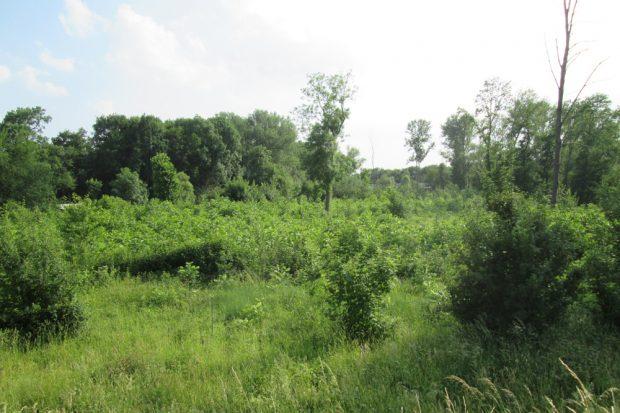 Schwarznussanpflanzung in einem im Auwald geschlagenen Femelloch. Foto: NuKLA e.V.
