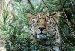 Amurloepard Xembalo im Leoparden-Tal © Zoo Leipzig