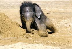 Das Elefanten-Jungtier badet im Sand © Zoo Leipzig