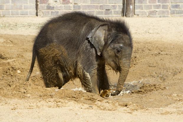 Das Elefantenkalb bringt 134 kg auf die Waage - und widmet sich der Körperpflege © Zoo Leipzig