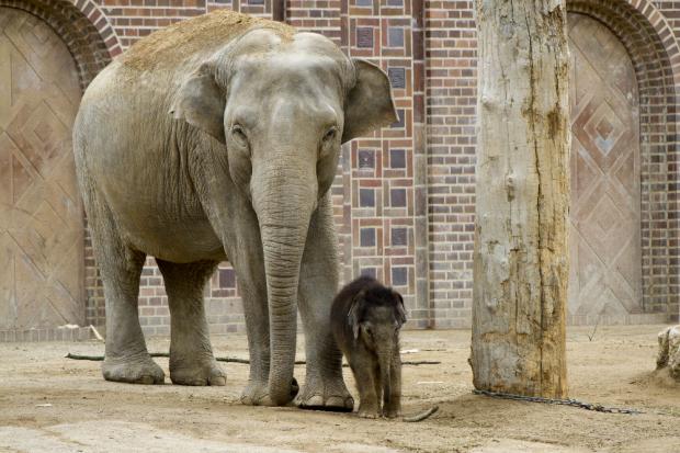 Don Chung und Hoas Kalb sind ein Team © Zoo Leipzig