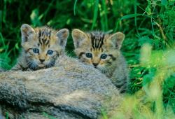 Junge Wildkatzen. Foto: Thomas Stephan / BUND