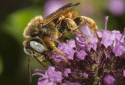 Männliche Schmuckbiene (Epeoloides coecutiens). Foto: Wolf-Harald Liebig