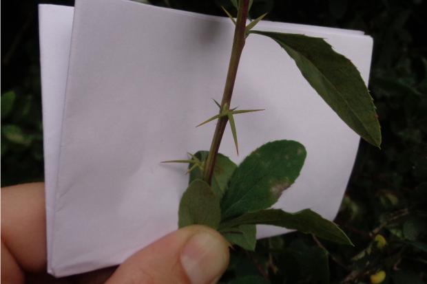 Obstbestimmung, dreizackige Berberitze. Quelle: .erleb-bar