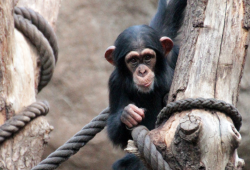 Schimpansen und viele andere Arten stehen bei den Entdeckertagen Affen im Fokus der Aufmerksamkeit © Zoo Leipzig