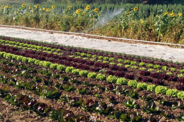 Wenn Fruchtfolgen wieder wichtiger werden, um den Acker zu schonen. Foto: Biohof Bohne