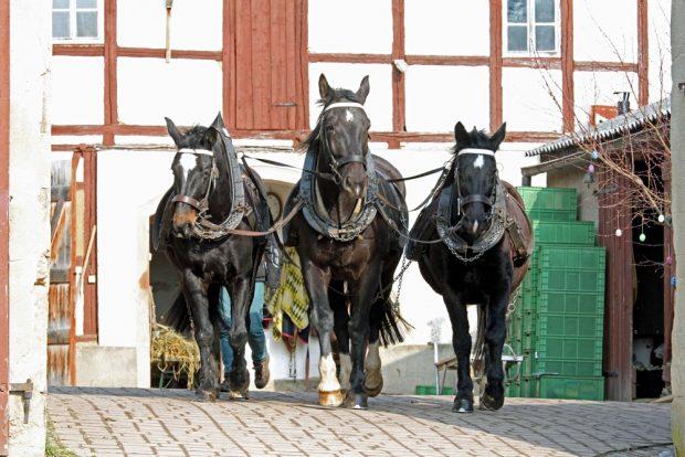 Wie seit 800 Jahren gehören die Arbeitspferde zum natürlichen Kreislauf auf dem Hof. Foto: Peter Tendler, Biohof Bohne
