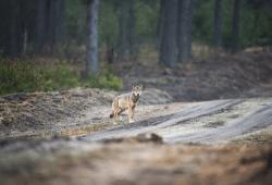 Wolf auf Waldweg. Foto: Heiko Anders/NABU
