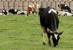 Kühe auf der Weide. Foto: Mathias Weidemann