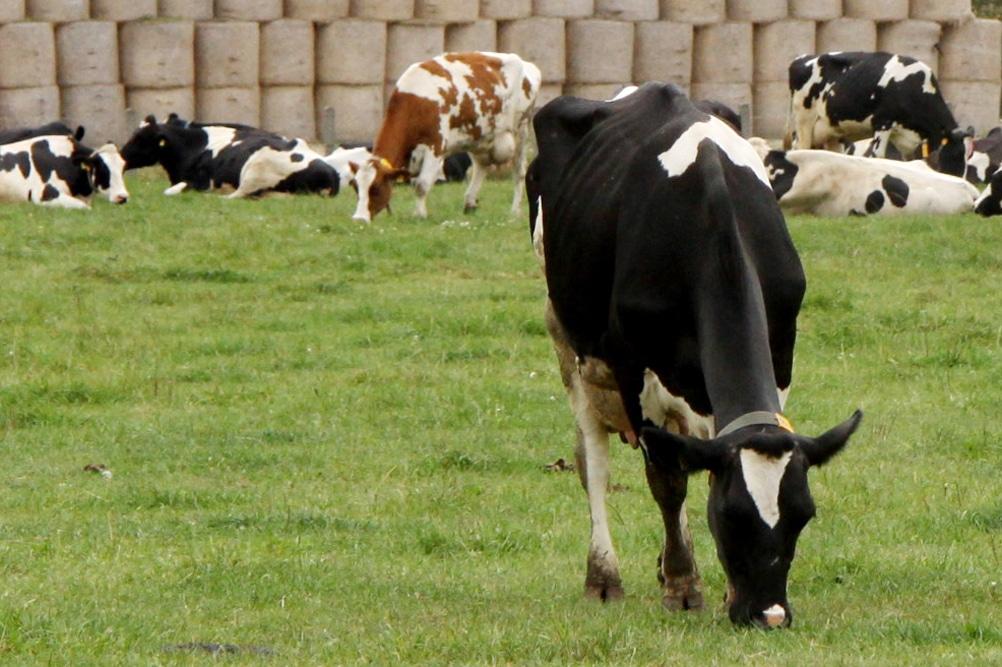 Diese Kühe wissen, was eine grüne Weide ist. Foto: Mathias
