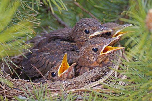 Amseljunge im Nest © NABU/Sabine Teufl