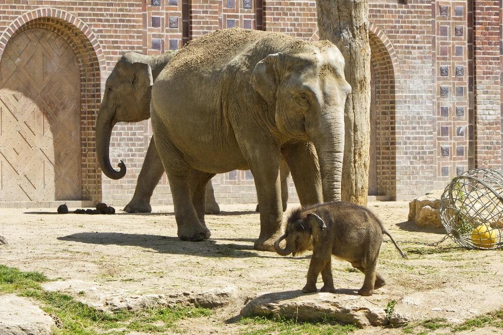 Das Jungtier mit Don Chung und Rani auf der Außenanlage © Zoo Leipzig