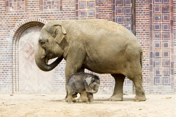 Don Chung und Jungtier - der Kleine braucht einen Namen © Zoo Leipzig