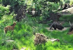 Mähnenwölfe und Ameisenbär friedlich beieinander © Zoo Leipzig