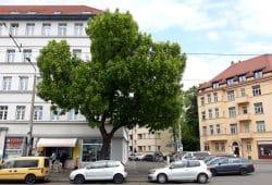 Straßenbaum in der Stötteritzer Straße. Foto: René Loch