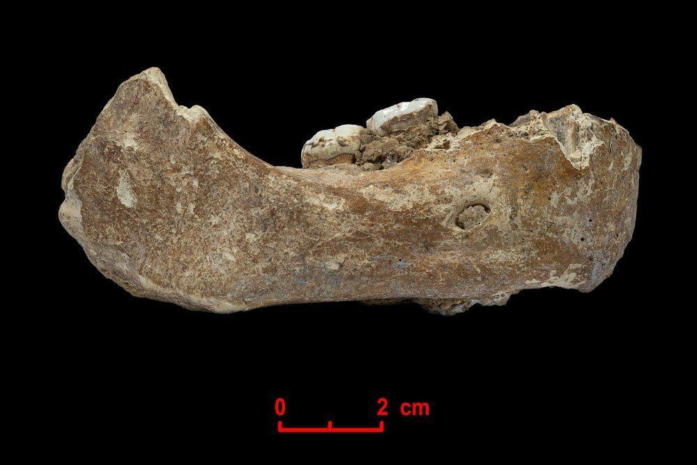 Der Xiahe-Unterkiefer, von dem nur die rechte Hälfte erhalten ist, wurde 1980 in der Baishiya Karst Höhle gefunden. Foto: Dongju Zhang, Lanzhou University
