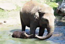 Elefantenkalb Bền Lòng geht mit seiner Tante Don Chung baden © Zoo Leipzig