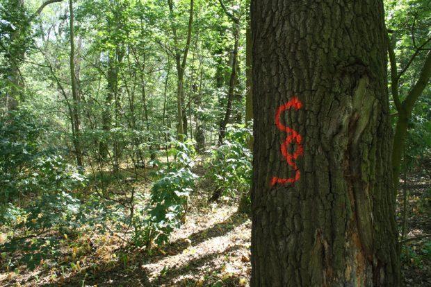 Biotopbaum im Waldgebiet am Elsterstausee / Cospudener See. Foto: Ralf Julke