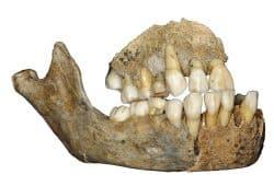 Oberkieferknochen eines Neandertalermädchens aus der Scladina-Höhle in Belgien. Foto: J. Eloy, AWEM, Archéologie andennaise