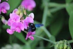 Die auffällige blaue Holzbiene gehört zu den acht Arten, die beim Insektensommer vom 2. bis 11. August besonders im Fokus stehen. Foto: Ina Ebert