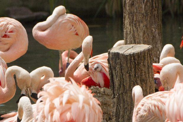 Flamingoküken in der Brutkolonie © Zoo Leipzig