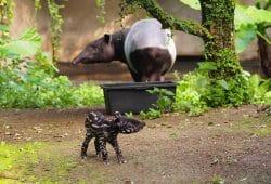Tapirjungbulle unterwegs auf der Aussanlage, Mutter Laila im Hintergrund © Zoo Leipzig