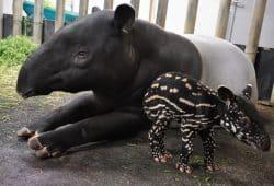 Tapirweibchen Laila mit ihrem Jungtier © Zoo Lepzig
