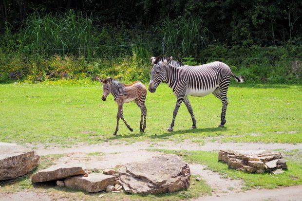 Zebrajungtier mit Mutter Layla auf der Savanne © Zoo Leipzig
