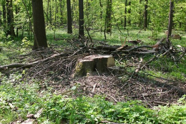 Baumstumpf im Auenwald. Foto: NuKLA e.V.
