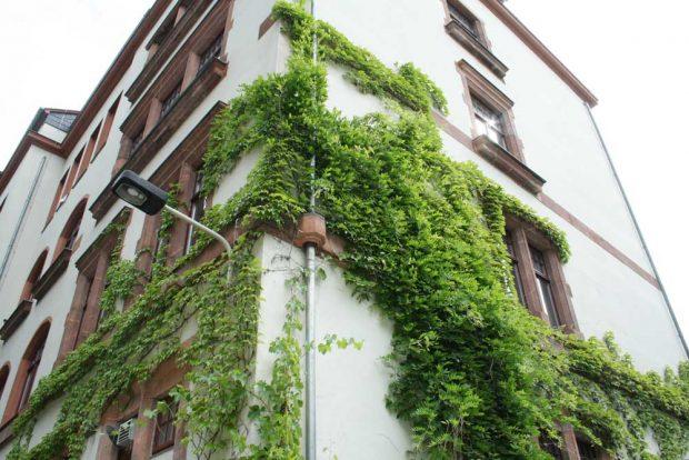 Fassadenbegrünung am Haus der Demokratie. Foto: Ralf Julke