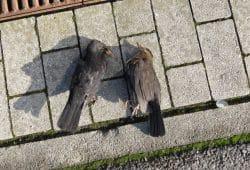 Tödlich verletztes Amselpaar an der Haltestelle Fliederhof der Linie 90. Foto: NABU Leipzig